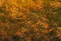 Backlit Prairie Grass Stock Photo