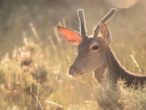 Backlit profile of a red deer Cervus elaphus (artistic picture) Royalty Free Stock Images