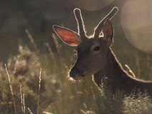 Backlit profile of a red deer Cervus elaphus (artistic picture) Stock Image