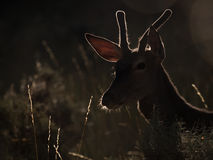 Backlit profile of a red deer Cervus elaphus (artistic picture) Stock Photo