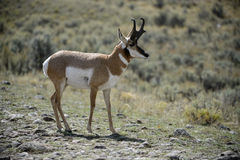 Backlit Pronghorn Royalty Free Stock Images
