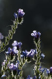 Backlit Purple flowers and leaves, Kolkata, India. Backlit Purple flowers and leaves Royalty Free Stock Images