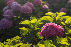 Backlit purple hortensia flowers Stock Photos