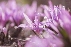 Purple spring flowers stock image