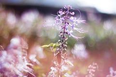 Backlit purpurowy Kumis kucing Obrazy Stock