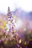 Backlit purpurowy Kumis kucing Zdjęcie Stock