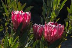 Backlit różowi protea kwiaty Obraz Royalty Free