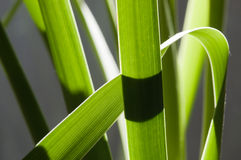Backlit rainforest reed leaves. Against a grey background royalty free stock photography