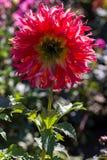 Backlit red aster flower Stock Images