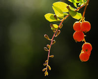 Backlit red berries on a branch. Backlit red berries and buds on a branch with green leaves and out of focus background royalty free stock photography