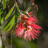 Backlit Red Bottlebrush Flower on the Tree Royalty Free Stock Photos