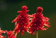 Backlit red flowers, Kolkata. India Stock Photos