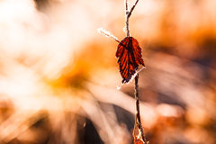 Backlit red leaf and frost close-up Stock Photography