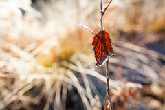 Backlit red leaf and frost close-up Royalty Free Stock Photos