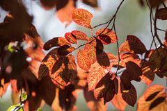 Backlit red leaves Stock Photos