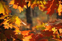 Backlit red oak leaves Royalty Free Stock Photography