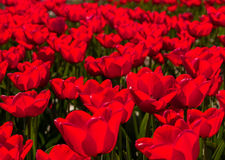 Backlit red tulips Royalty Free Stock Photos