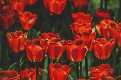 Backlit red tulips Royalty Free Stock Images