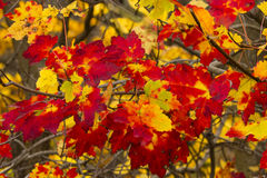 Backlit Red and Yellow Maple Leaves Royalty Free Stock Photos