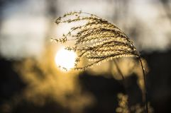 Backlit reed in sunset royalty free stock photography