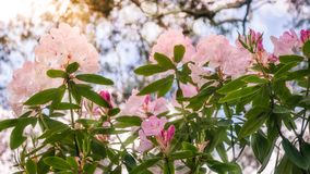 Backlit Rhododendron Flowers against the sky. Pink Rhododendron flowers -called Roseum Elegans in Latin - glowing in sunlight at the Rhododendron Garden in royalty free stock image