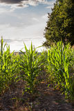 Backlit rows of young green maize plants at sunset Royalty Free Stock Photography