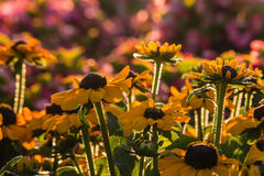 Backlit rudbeckia flowers Royalty Free Stock Image