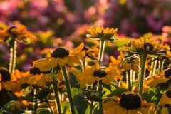 Backlit rudbeckia flowers Royalty Free Stock Image