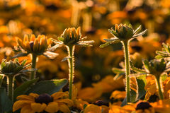 Backlit rudbeckia flowers Stock Photography