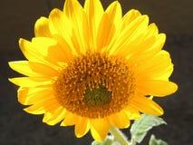 backlit słonecznik obrazy stock