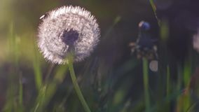 Backlit seed head of dandelion, sunlight flares, nice round bokeh, close up, vintage look.  stock video
