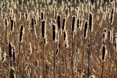 Backlit seeding Bulrushes silhouetted by a low sun. Backlit seeding Bulrushes silhouetted by a low warm sun Royalty Free Stock Photos