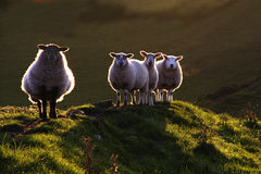 Backlit sheep. Sheep at sunset in Northumberland stock images