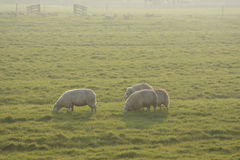 Backlit sheep in field at sunset Royalty Free Stock Image