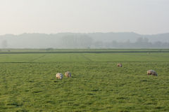 Backlit sheep in field at sunset Stock Photography