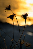 Backlit silhouette a dandelion at sunset Stock Images