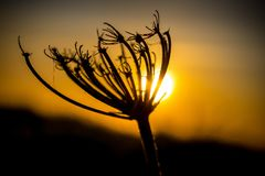 Backlit silhouette of a dandelion at sunset Royalty Free Stock Photo