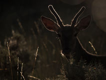 Backlit silhouette of a red deer Cervus elaphus (artistic pictur Royalty Free Stock Photos