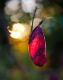 Backlit single red leaf in autumn Royalty Free Stock Photos