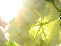 Backlit Snowball Bush White Flower Cluster. Delicate petals of white flowers that form a floral ball are lit by the summer sun. Sunny rays of light and lens Stock Image