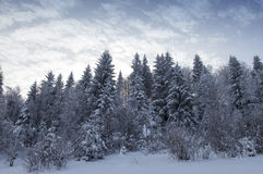 Backlit snowy forest in winter Stock Image