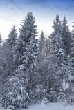 Backlit snowy forest in winter Royalty Free Stock Photo