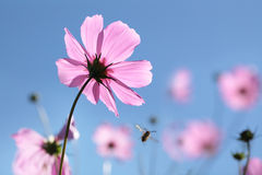 Backlit soft-focus daisies, a bee and tiny depth of field Royalty Free Stock Photography