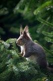 Backlit squirrel dude Stock Photography