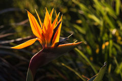Backlit strelitzia flower Stock Photo