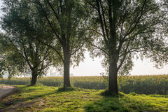 Backlit strzał trzy drzewa w roudside Obrazy Stock