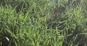 Lawn grass with dew. The backlit sun glistens with dew on a green lawn stock video