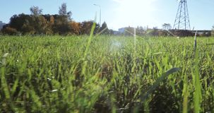 Lawn grass with dew. The backlit sun glistens with dew on a green lawn stock video footage