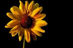 Backlit Sunflower. Yellow Sunflower with Studio Backlighting Stock Photography
