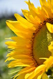 Backlit Sunflower Royalty Free Stock Image